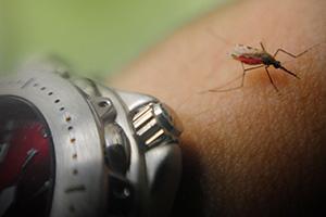 <i>Anopheles gambiae</i> <osquito