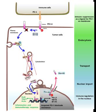 A schematic diagram of molecular mechanism of nuclear translocation of PD-L1 and its functions.