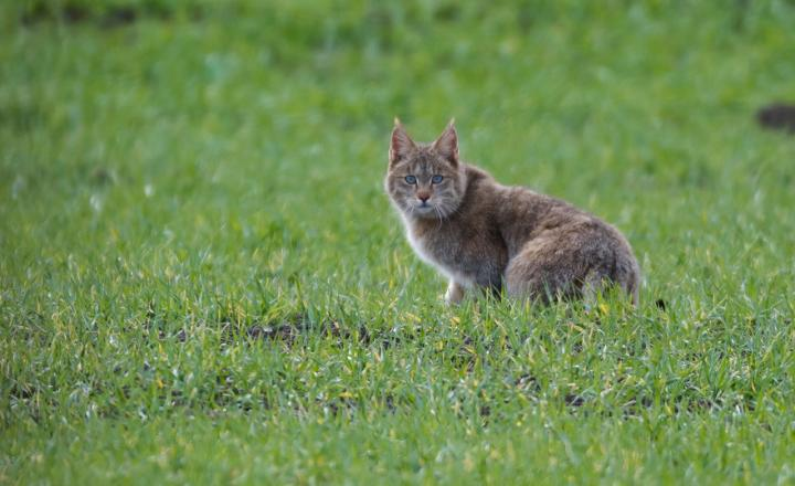 Chinese Mountain Cat (1 of 2)