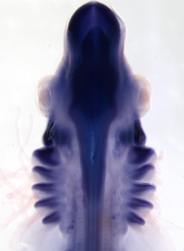 Skate Embryo