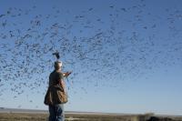 Hawk Flying Through the Stream of Bats