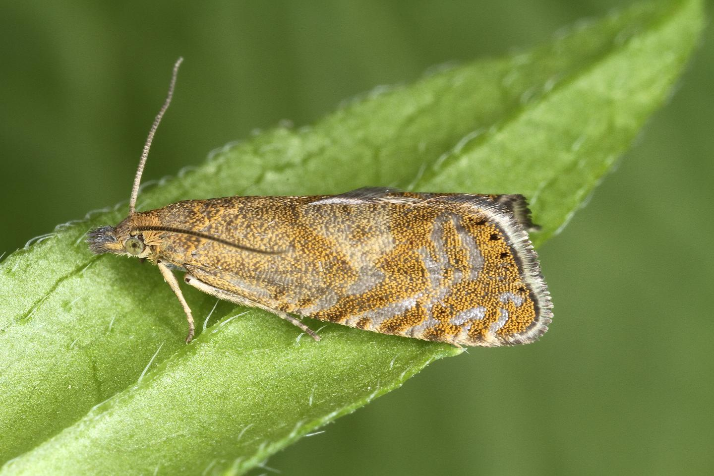 The newly discovered Dichrorampha velata moth
