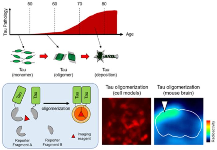In vivo visualization of tau oligomerization