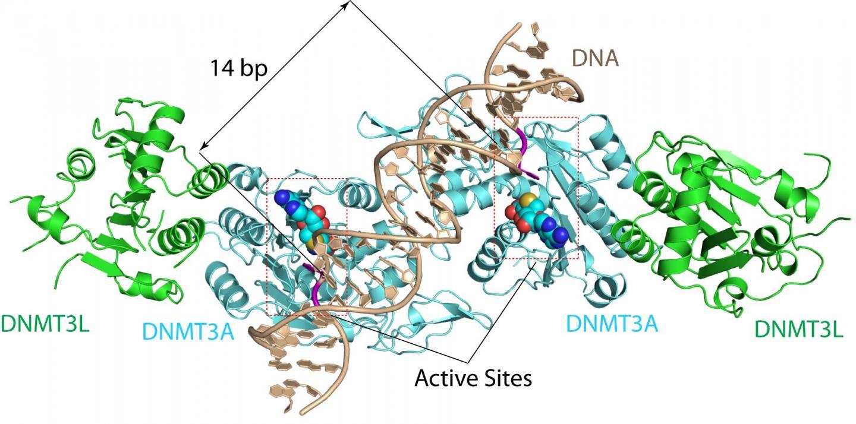 DNMT3A-DNA Complex