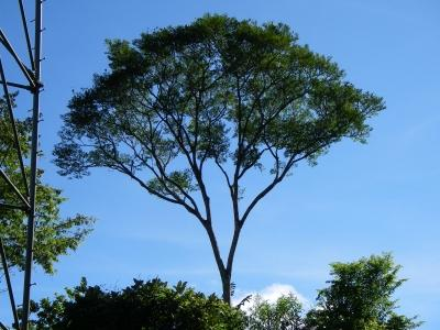 Jacaranda Copaia