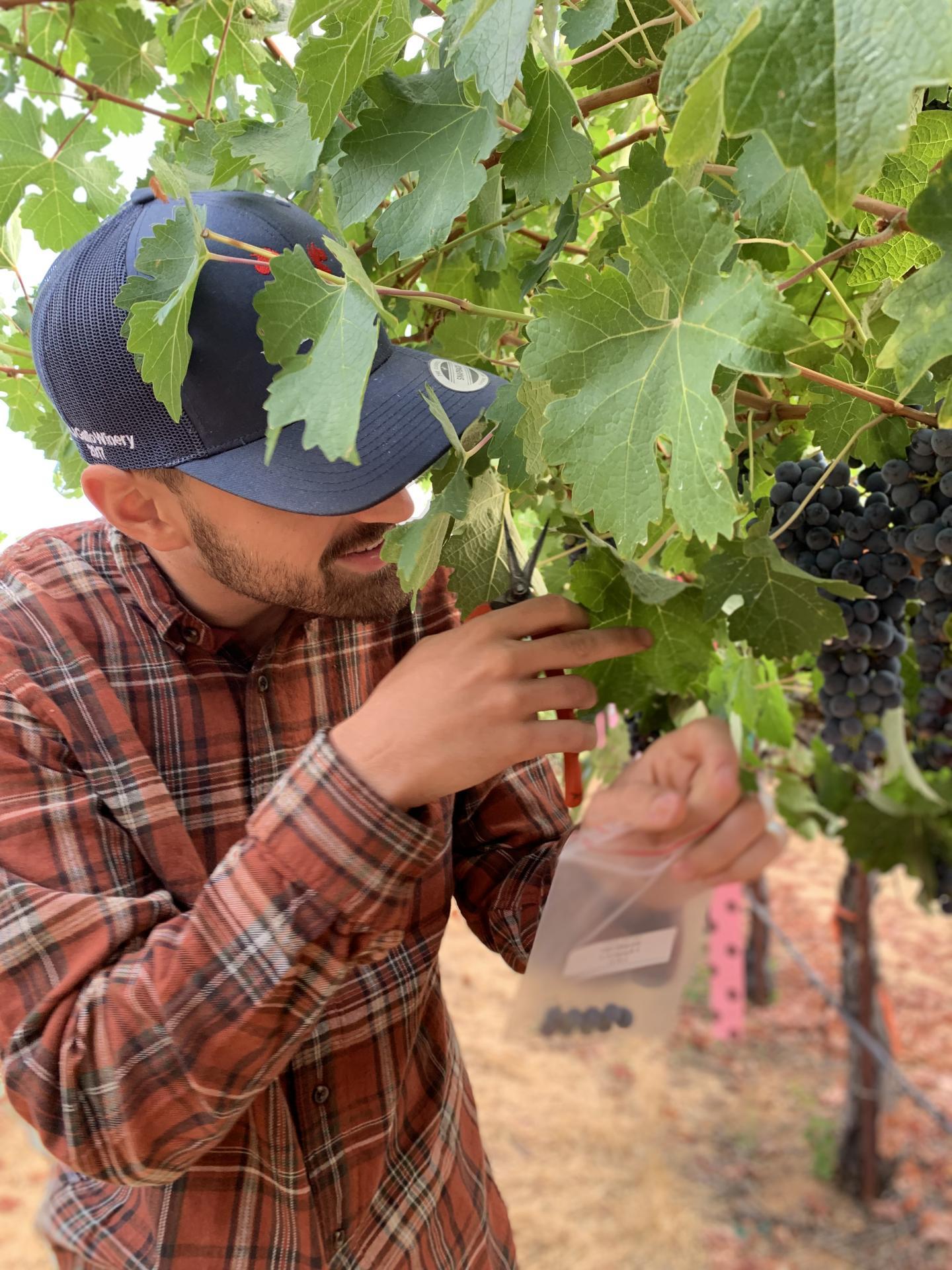Researcher Pietro Previtali collecting grape samples.