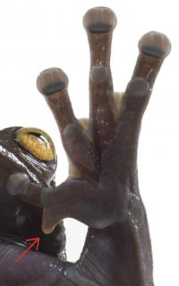 Hand Showing the Extraordinary Claw-Like Spine