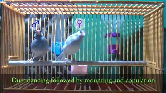 Java Sparrows Duet Dancing