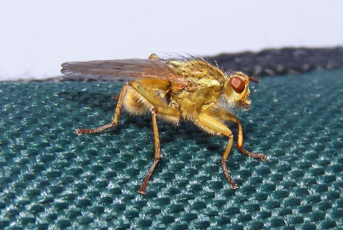Robberfly - a venomous species