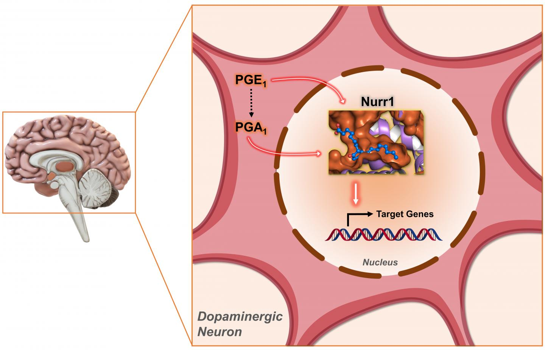 Molecular Pair Offers Potential for Parkinson's Disease Treatment, Finds NTU Singapore-Harvard Study
