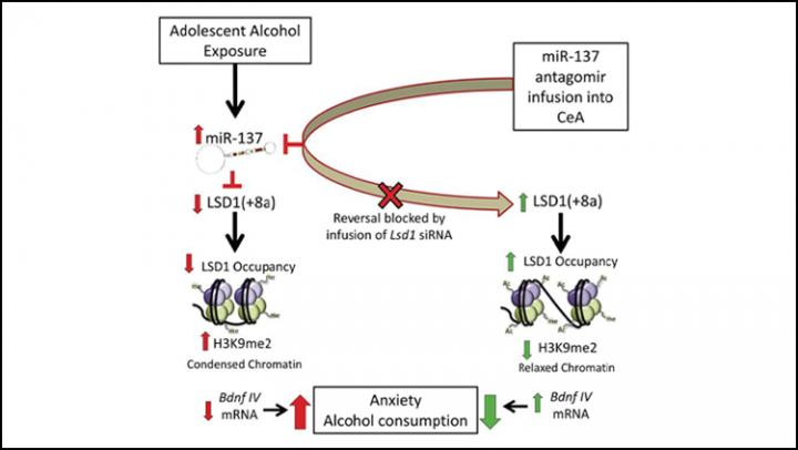 Adolescent Drinking Increases Anxiety, Alcohol Abuse Later in Life