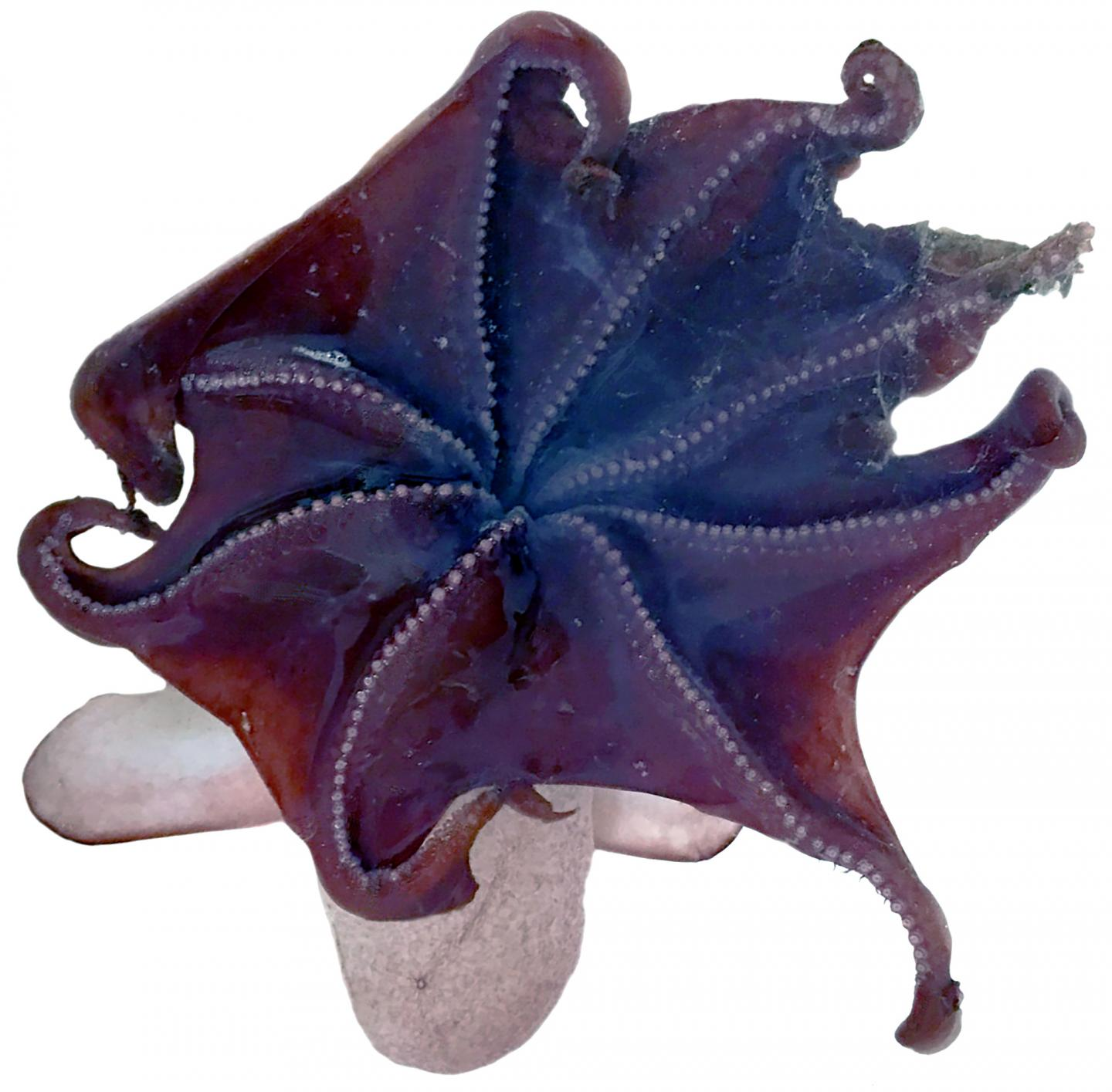 The bell-shaped umbrella of the Emperor dumbo (Grimpoteuthis imperator)