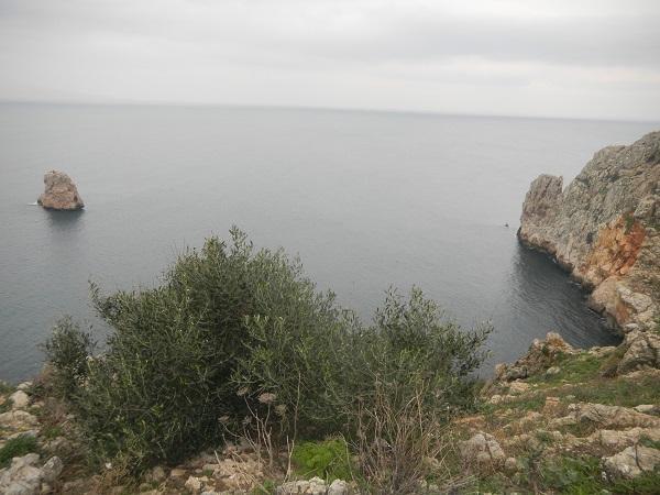 Wild olive trees