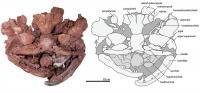 Skull of <i>Laccognathus embryi</i>