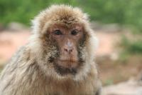 A Very Old Female Barbary Macaque