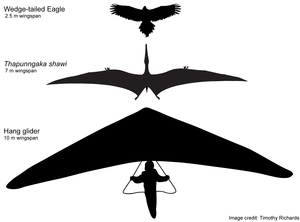 Hypothetical outline of Thapunngaka shawi with a 7 m wingspan