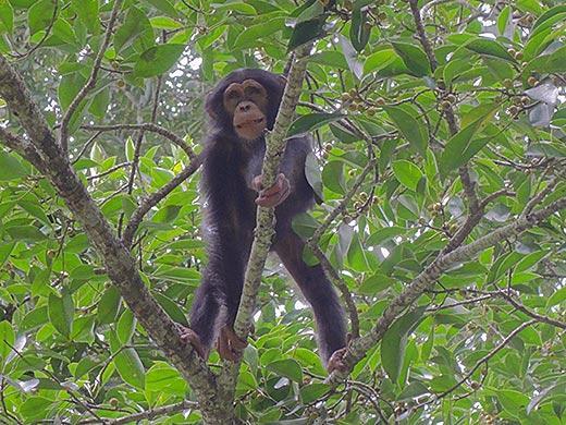 Chimps Plan Ahead for Breakfast