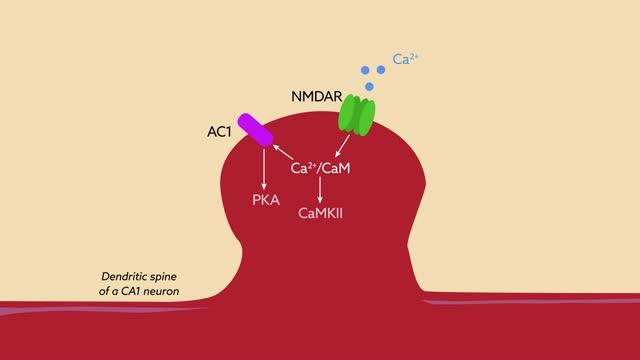 The Protein RGS14 Regulates Calcium Signaling in CA2 Neurons to Restrict Plasticity