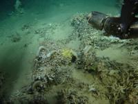 <I>Hexadella</I> Samping from Deep-Sea Coral Reef