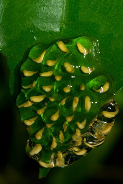 Pantless Tree Frog Embryos