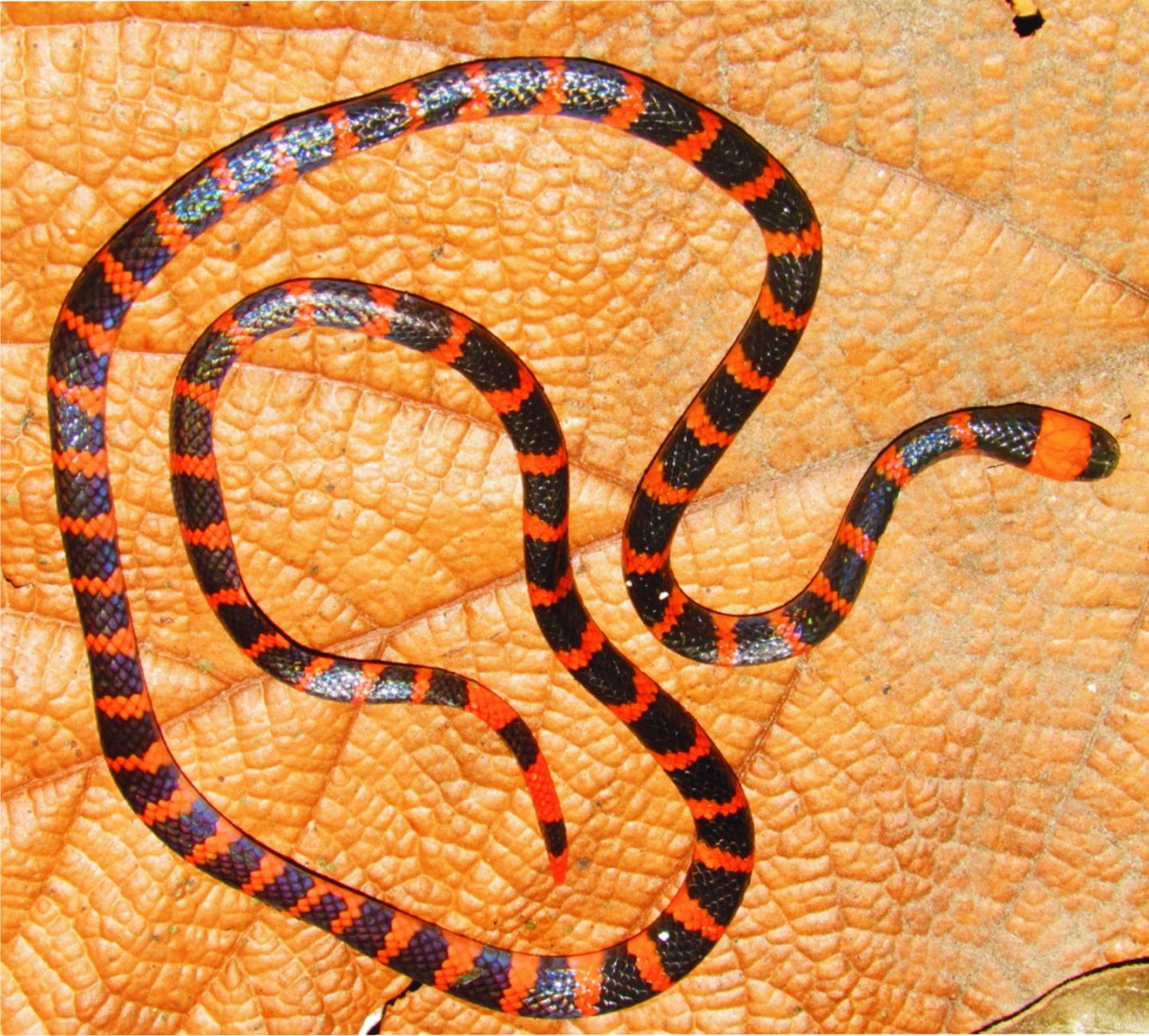 The Coral Snake <i>Micrurus mipartitus</i>