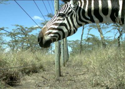 Large Wildlife: Zebra