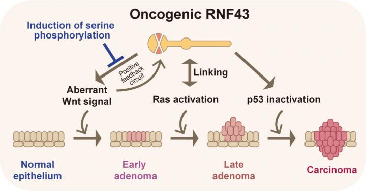 Oncogenic RNF43 and Cancer