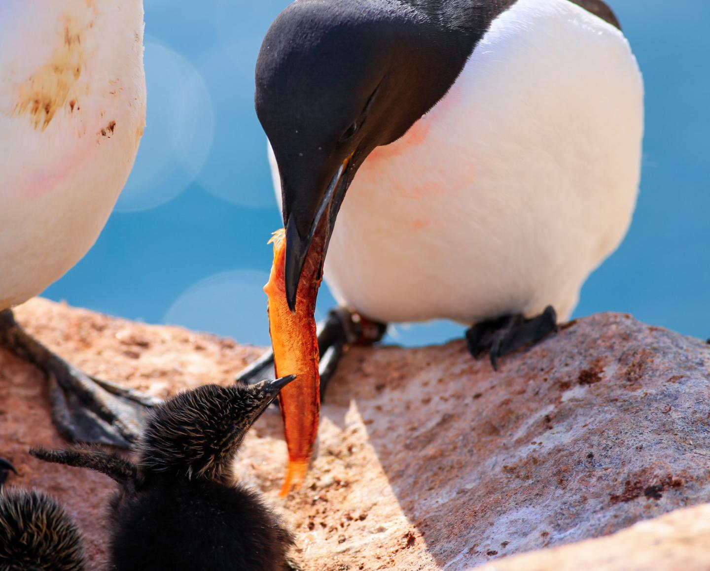 Thick-billed murre feeding its young
