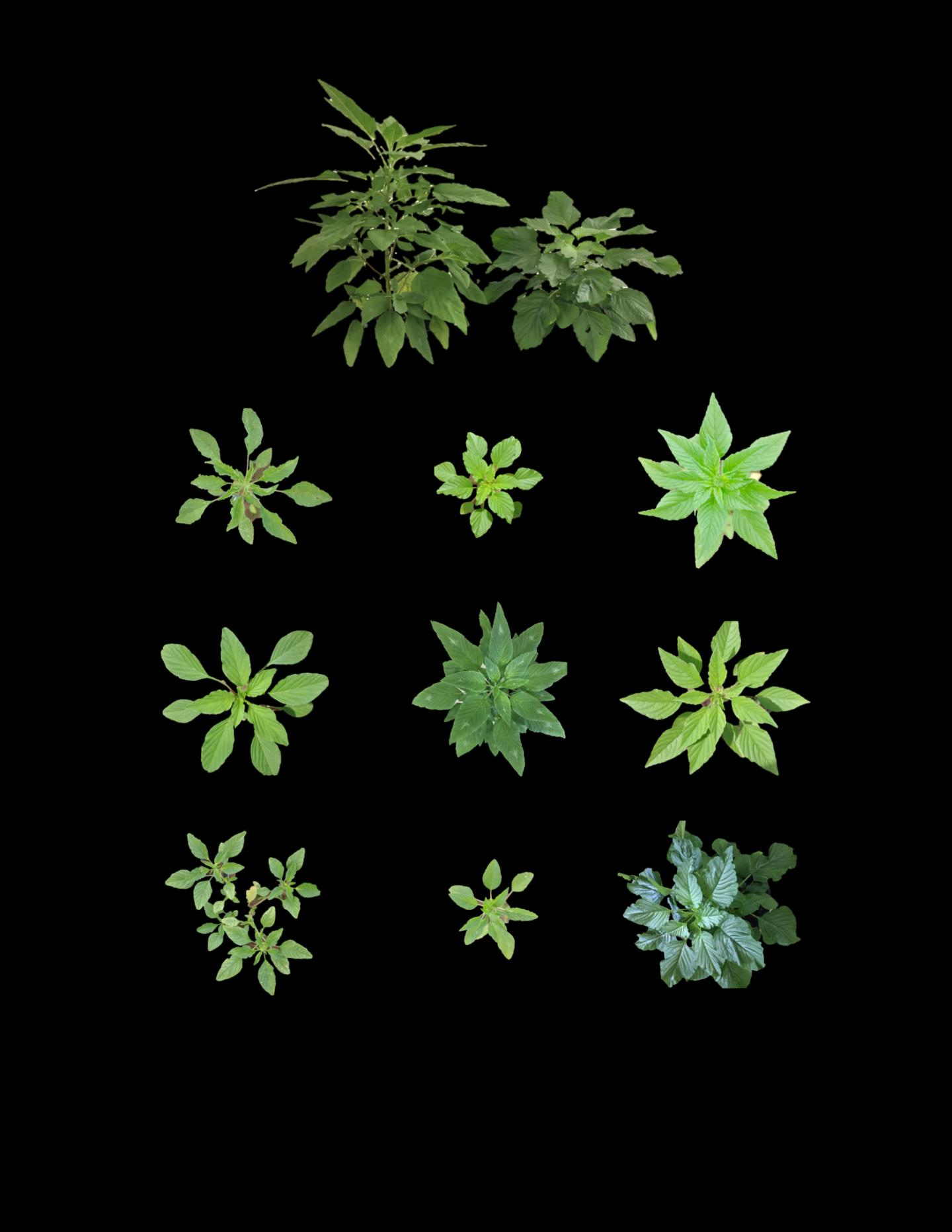 Ddiversity in Morphology that We Found Among Palmer amaranth Populations