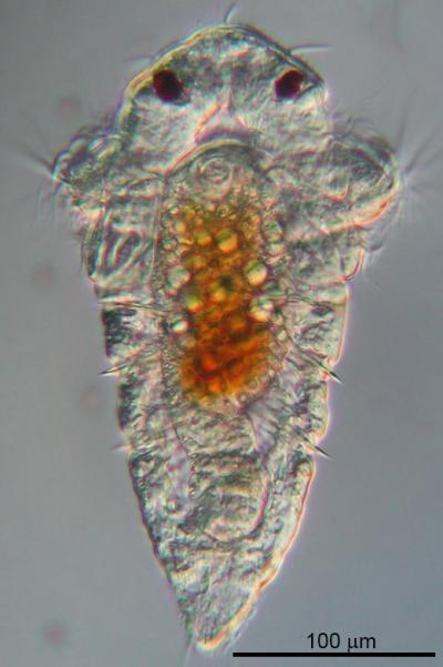 Larva of the Marine Tubeworm <i>Hydroides elegans</i>
