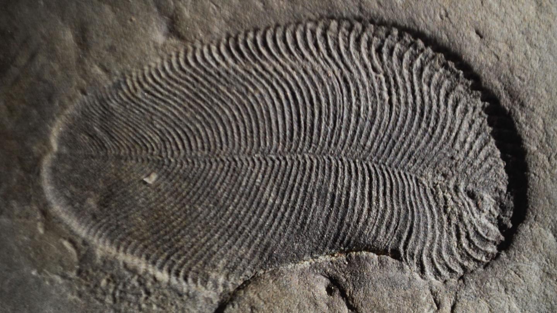 <i>Dickinsonia</i> Fossil