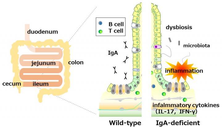 Figure 1. IgA deficiency induces ileitis