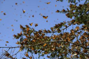 Monarchs Were Most-Uploaded iNaturalist Species