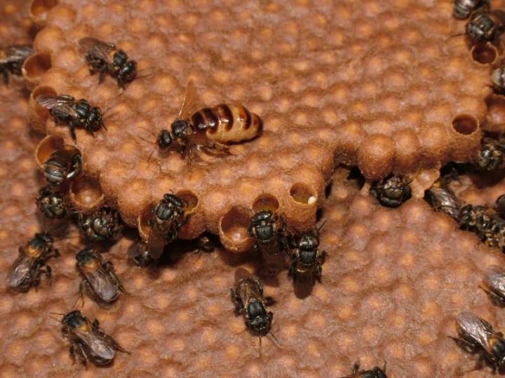 Queens Control Worker Reproduction without Castration in Stingless Bee Species