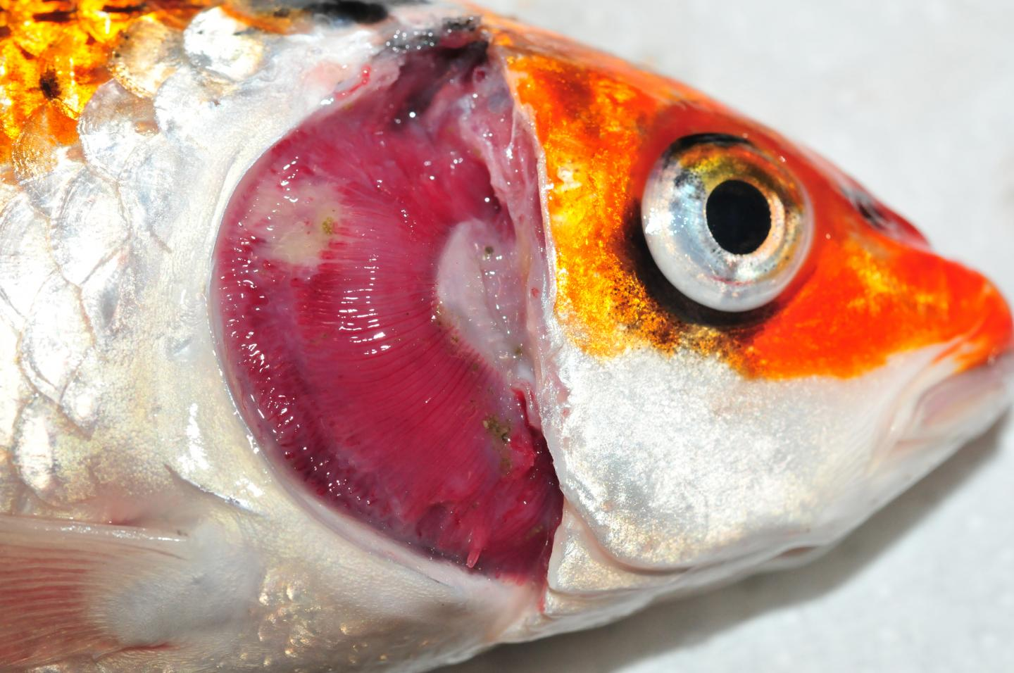 The Disease Affects Gill Tissue