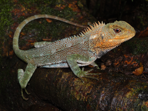 An adult male of Enyalioides feiruzae
