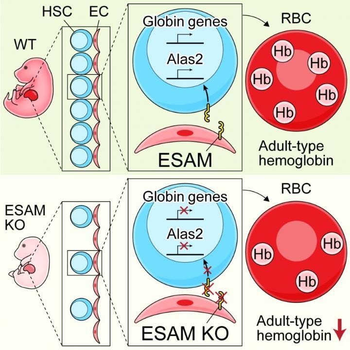 ESAM Deficiency