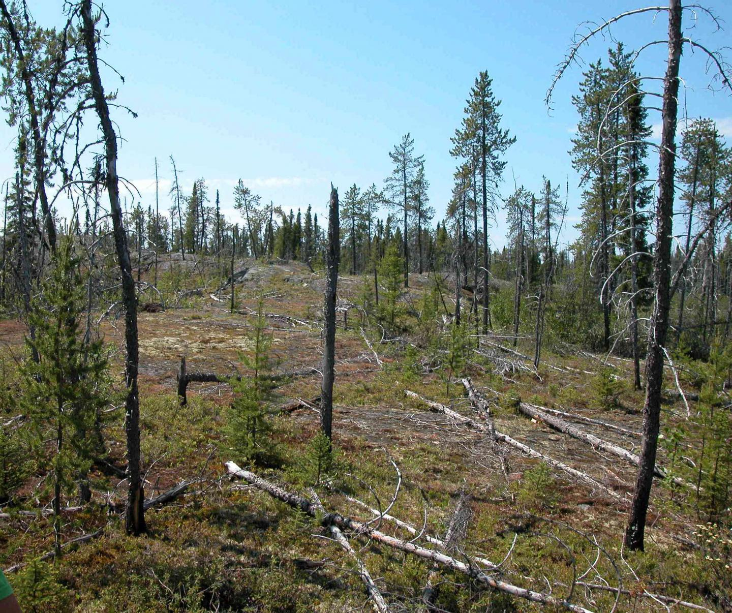 Post-Fire Forest in Eastern North America