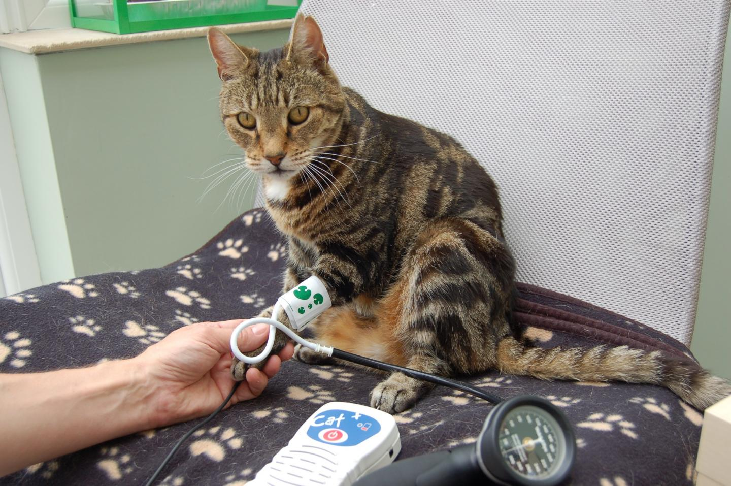 Cat Having its Blood Pressure Checked