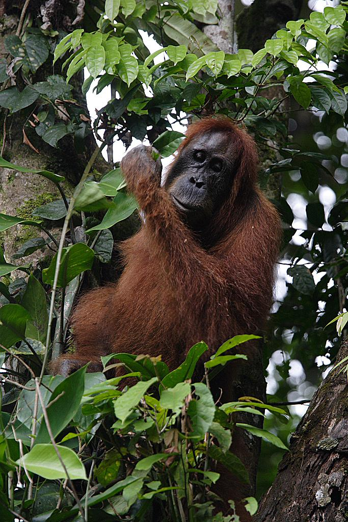 Sumatran Orangutans (2 of 2)