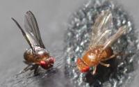 <em>D. melanogaster</em>
