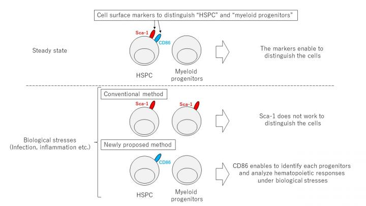 Figure 1. CD86 is a marker for identifying hematopoietic progenitor cells under biological stress
