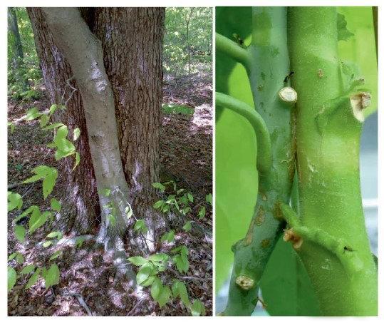 Natural stem graft