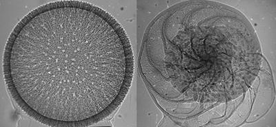 X-Ray Radiographs of Plankton Shells Measured at Diamond Light Source