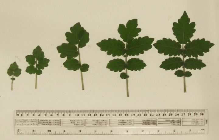 Leaf Development