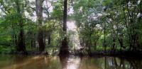 Current day cypress forest