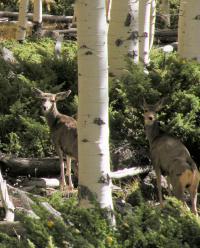 Deer at Utah's Pando Aspen Clone