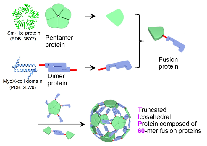 Design and construction of artificial protein nanoparticle TIP60
