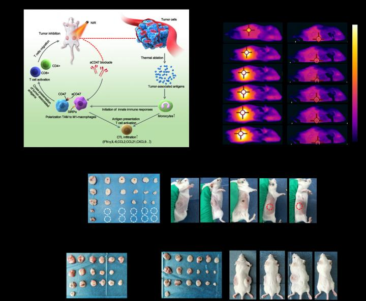 Anti-Tumor Effect Of BP Based Photothermal Therapy With aCD47