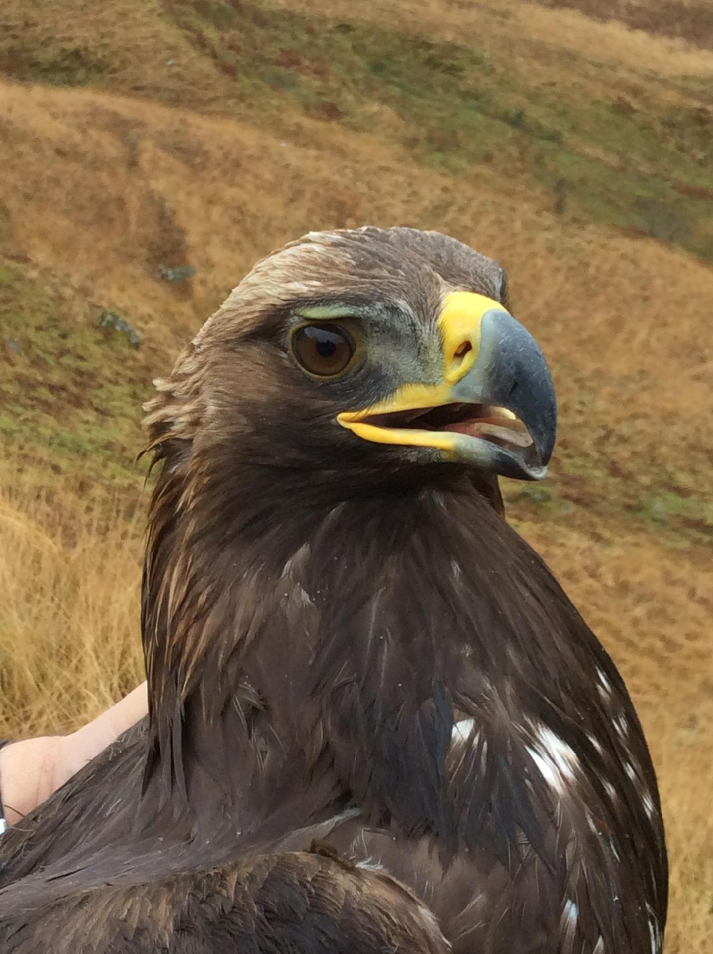 How do wind turbines impact Golden Eagles?